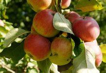 to prune an apple tree