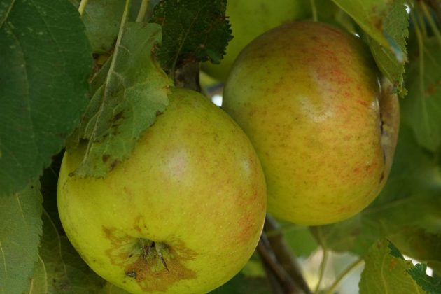 ripe apples on an apple tree