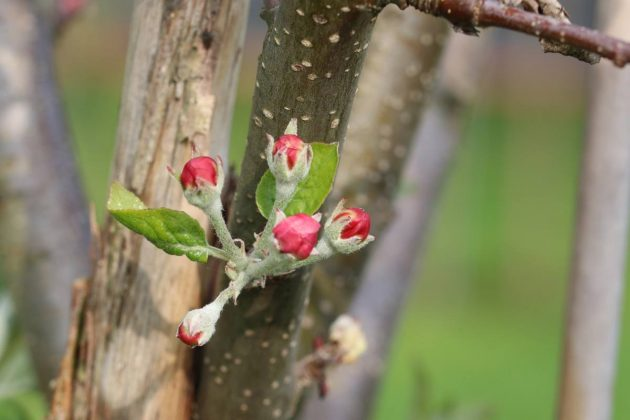 flower buds on the apple tree