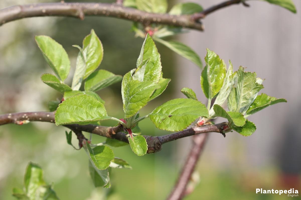 fresh leaves on the apple tree