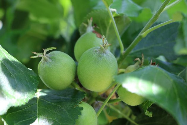 ripening apple fruits
