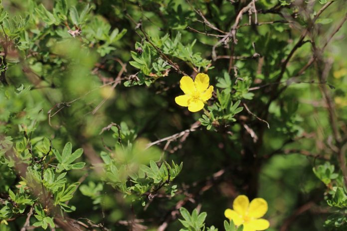Potentilla fruticosa in the garden patch