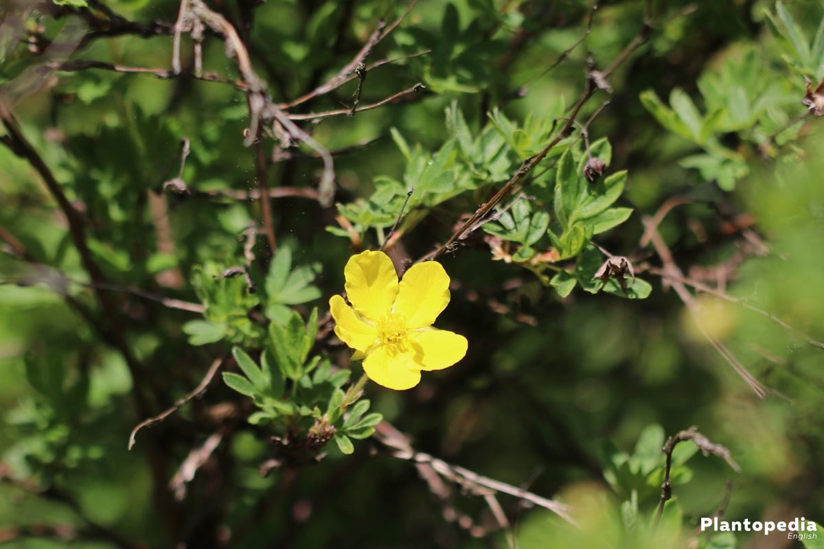 Potentilla fruticosa with yellow flower