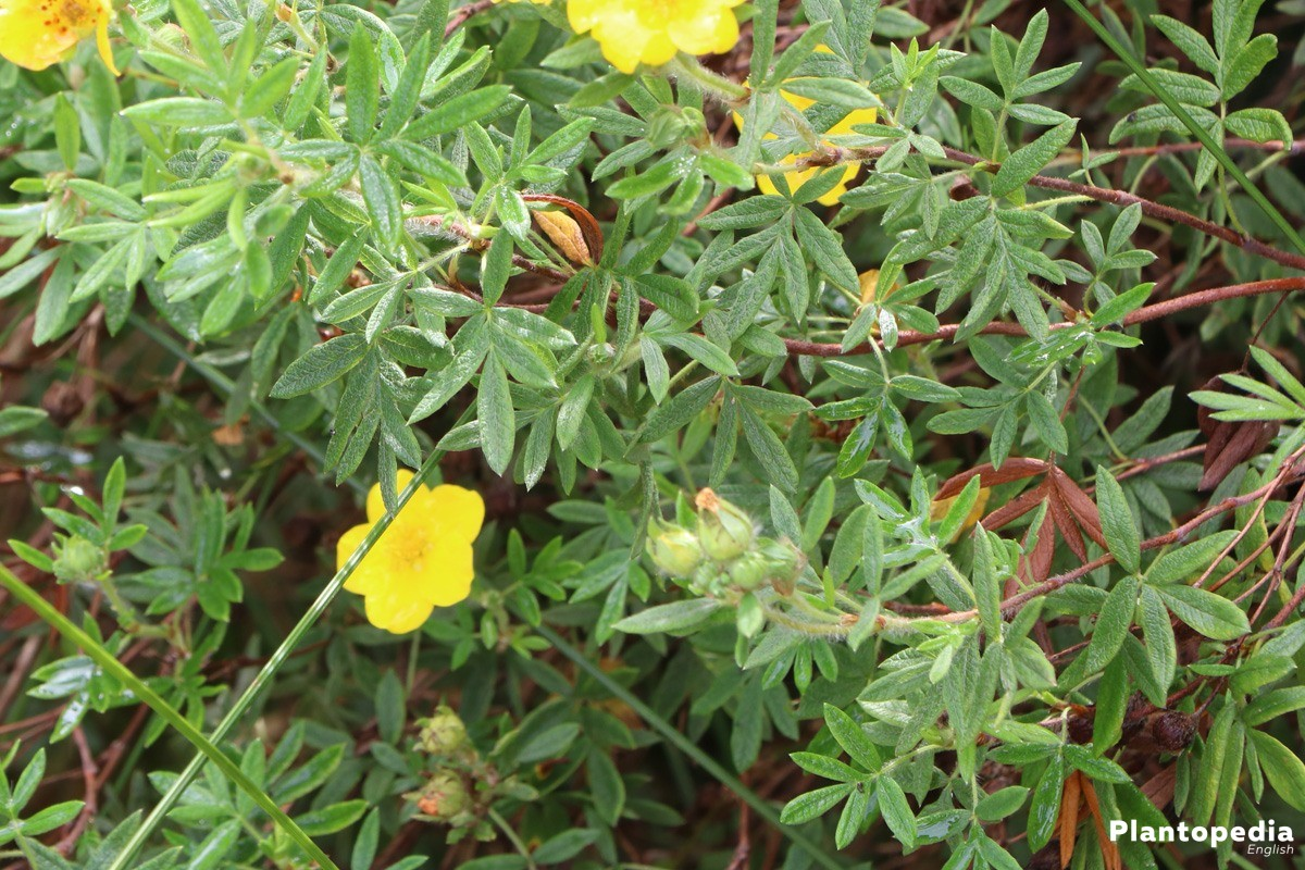 Potentilla fruticosa a typical rock garden plant