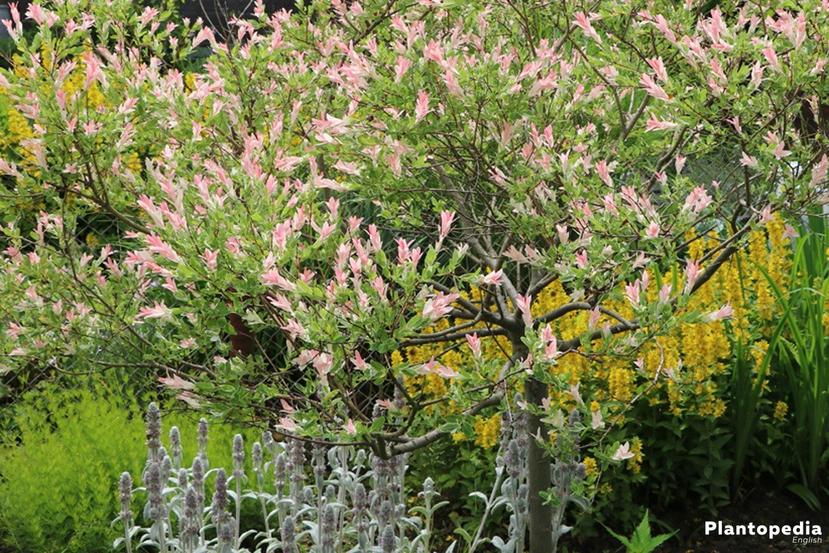 Salix integra grows best in sunny to slightly shadowed places