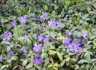 Vinca minor in the garden patch