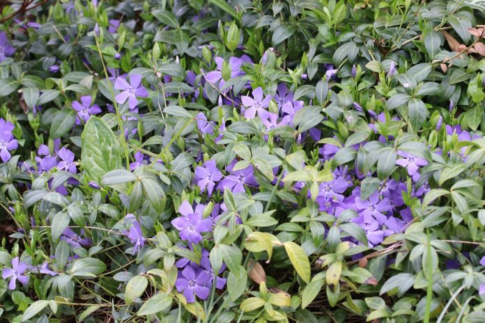 Growing Periwinkle Vinca Minor How To Care For This