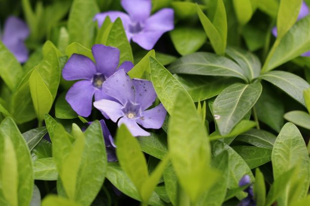 Vinca minor with blue-violet blossoms