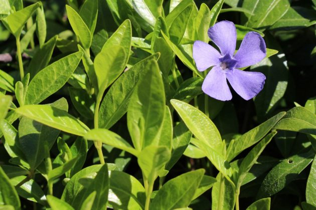 Vinca minor is an easy care plant