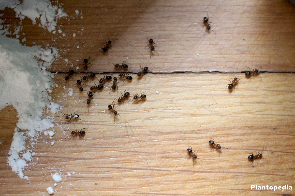 How To Get Rid Of Ants Plantopedia