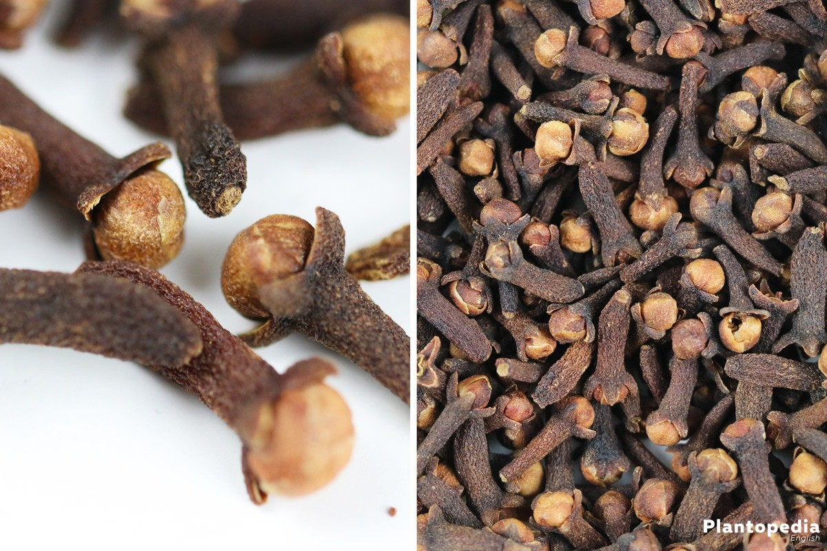dried cloves as a countermeasure