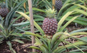 Pineapple Plant with an exotic look