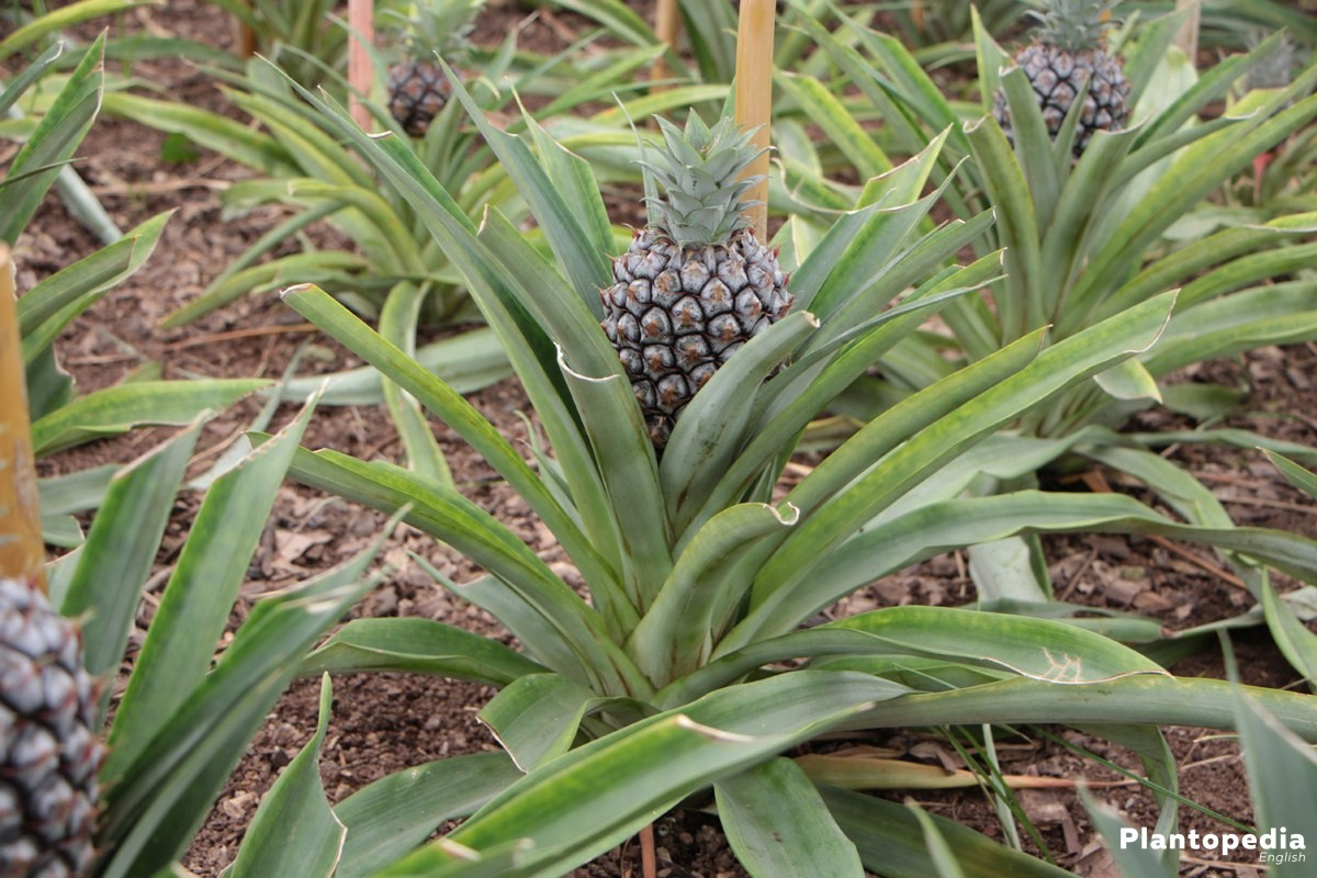 Pineapple Plant for balconies or gardens