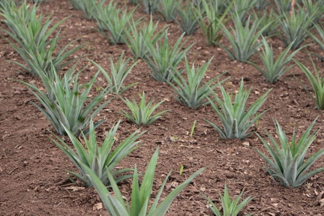 grow Pineapple Plant at home