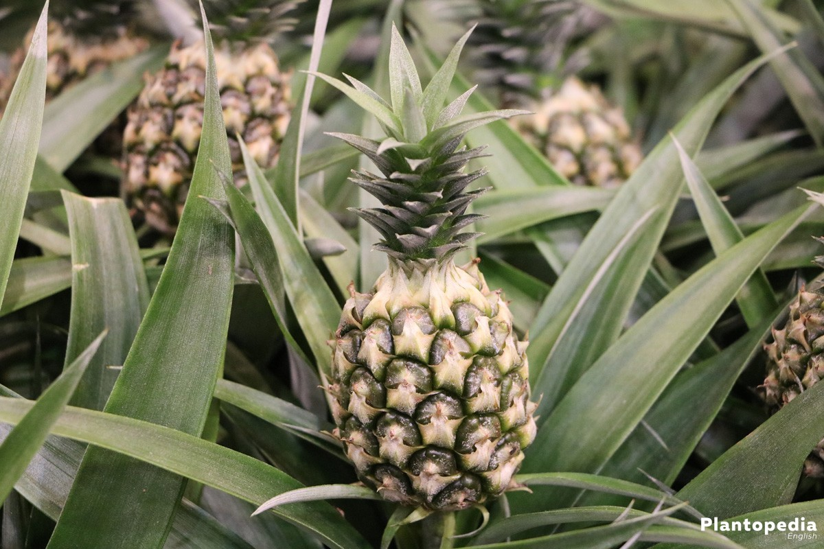 Pineapple Plant is a multi-year bromelia