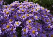 Asters, Aster, White Wood Aster