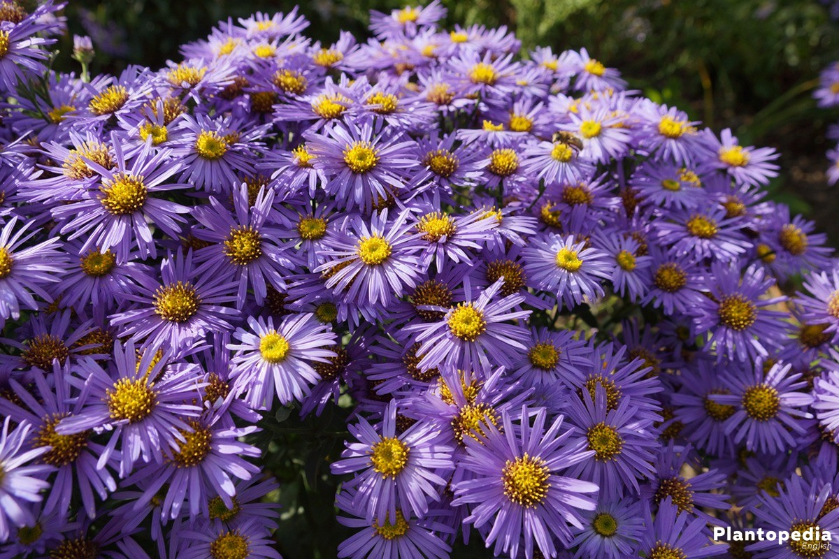Aster Plant Care How To Grow And Care For This Flower Plantopedia