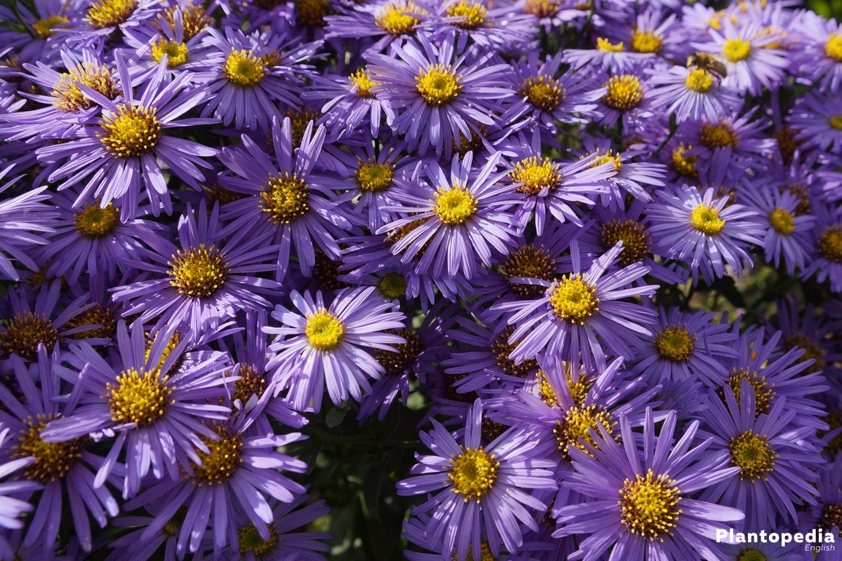 Aster available in different flower colors