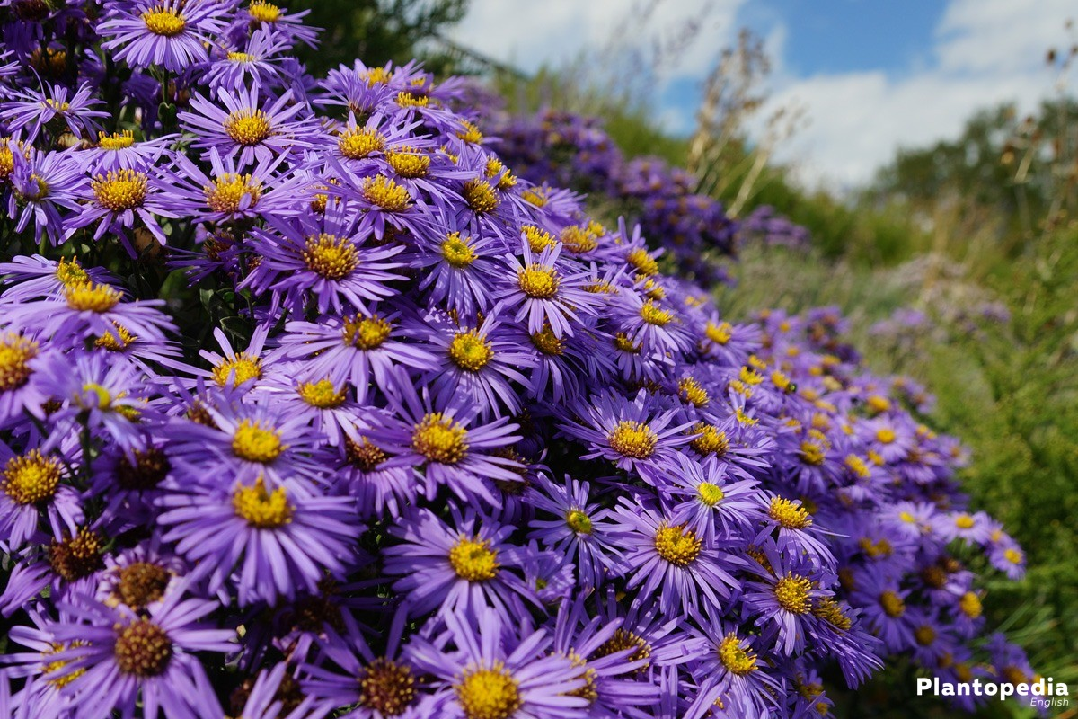 Aster with colorful blossoms