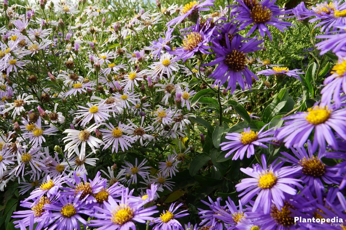 Aster is a mostly bushy shrub