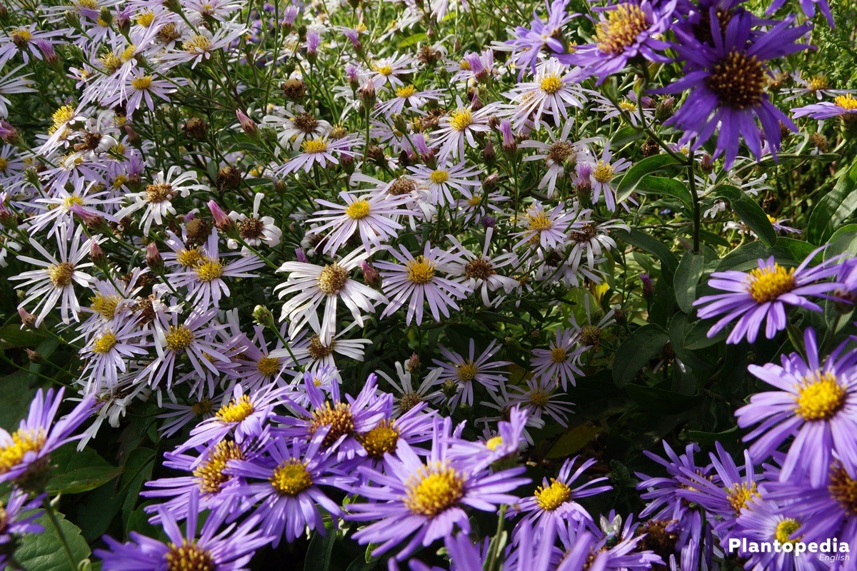 Aster with numerous and colorful flowers