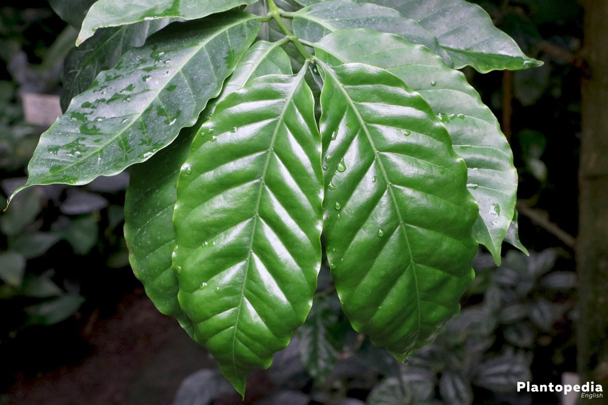 Coffee plant with evergreen leaves