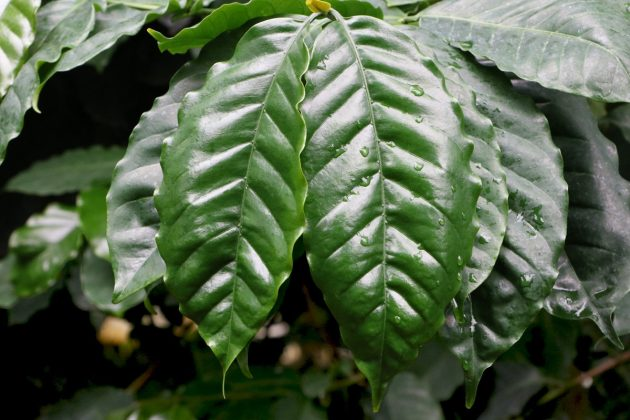 Coffea arabica with dark green leaves