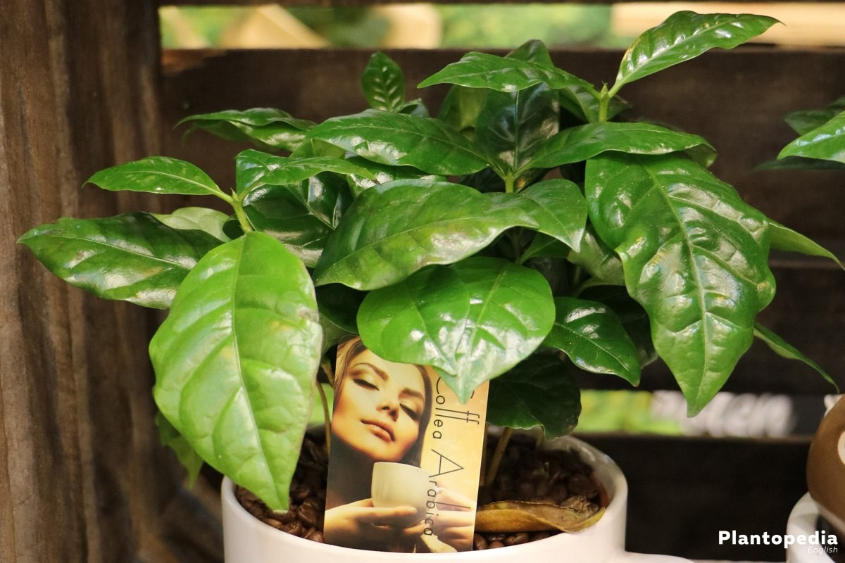 Coffea arabica is available as indoor plant