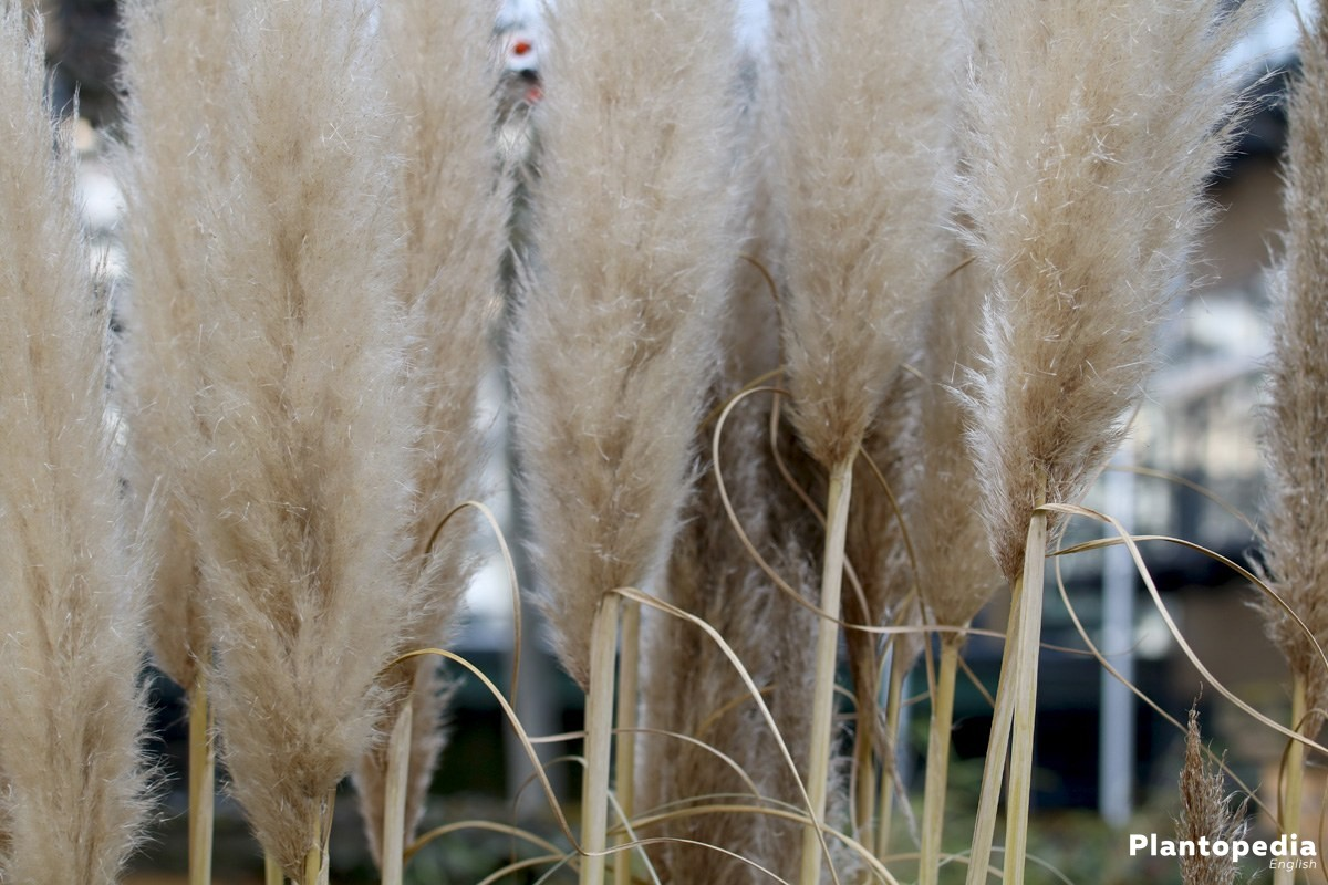 Cortaderia selloana belongs to ornamental grasses
