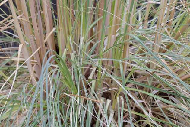 Cortaderia selloana grows high up to three meters