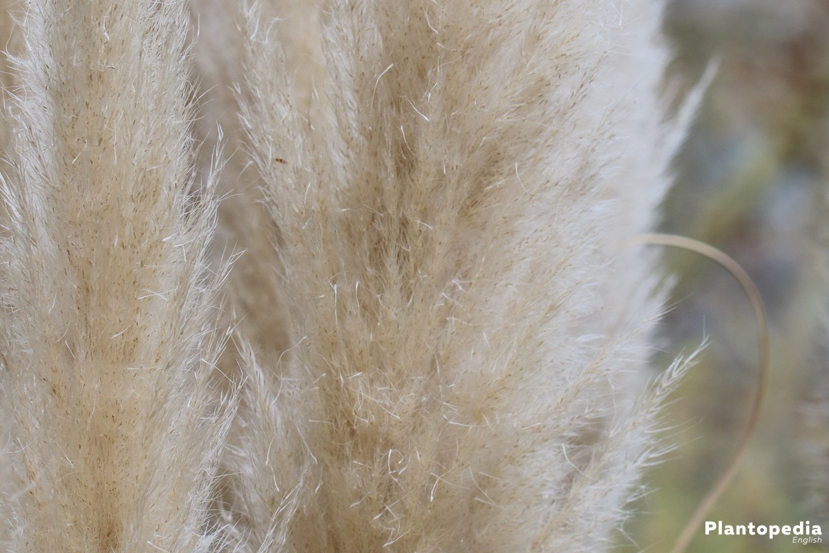 Pampas Grass with white blossom colour