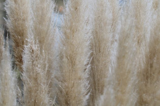 Pampas Grass is an eyecatcher in every garden