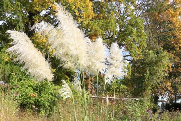 Pampas Grass with white blossom