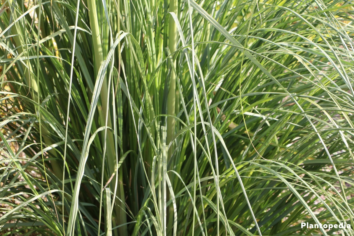 Cortaderia selloana for gardens and balconies