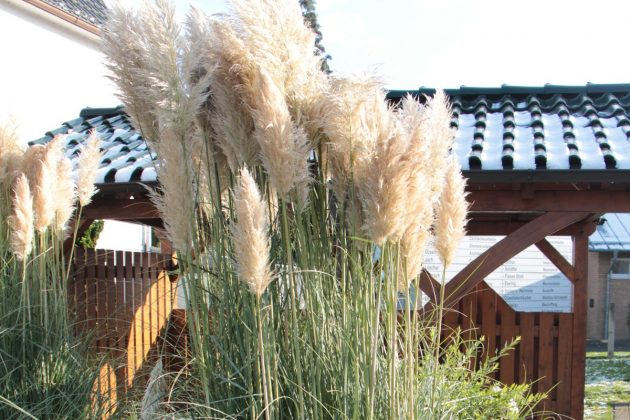 Pampas Grass prefers a sunny location
