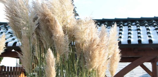 Cortaderia selloana, Pampas Grass