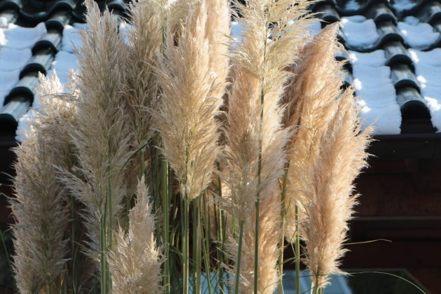 Pampas Grass is available in different varieties
