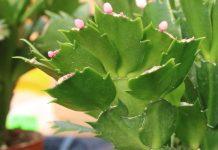 Christmas Cactus, Schlumbergera