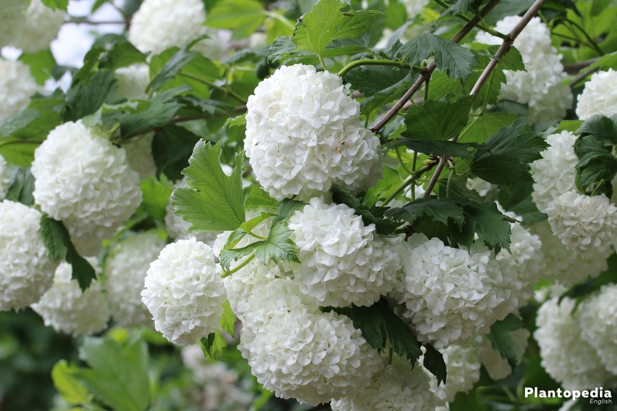 Guelder Rose Tree Viburnum Opulus Facts How To Care And Prune