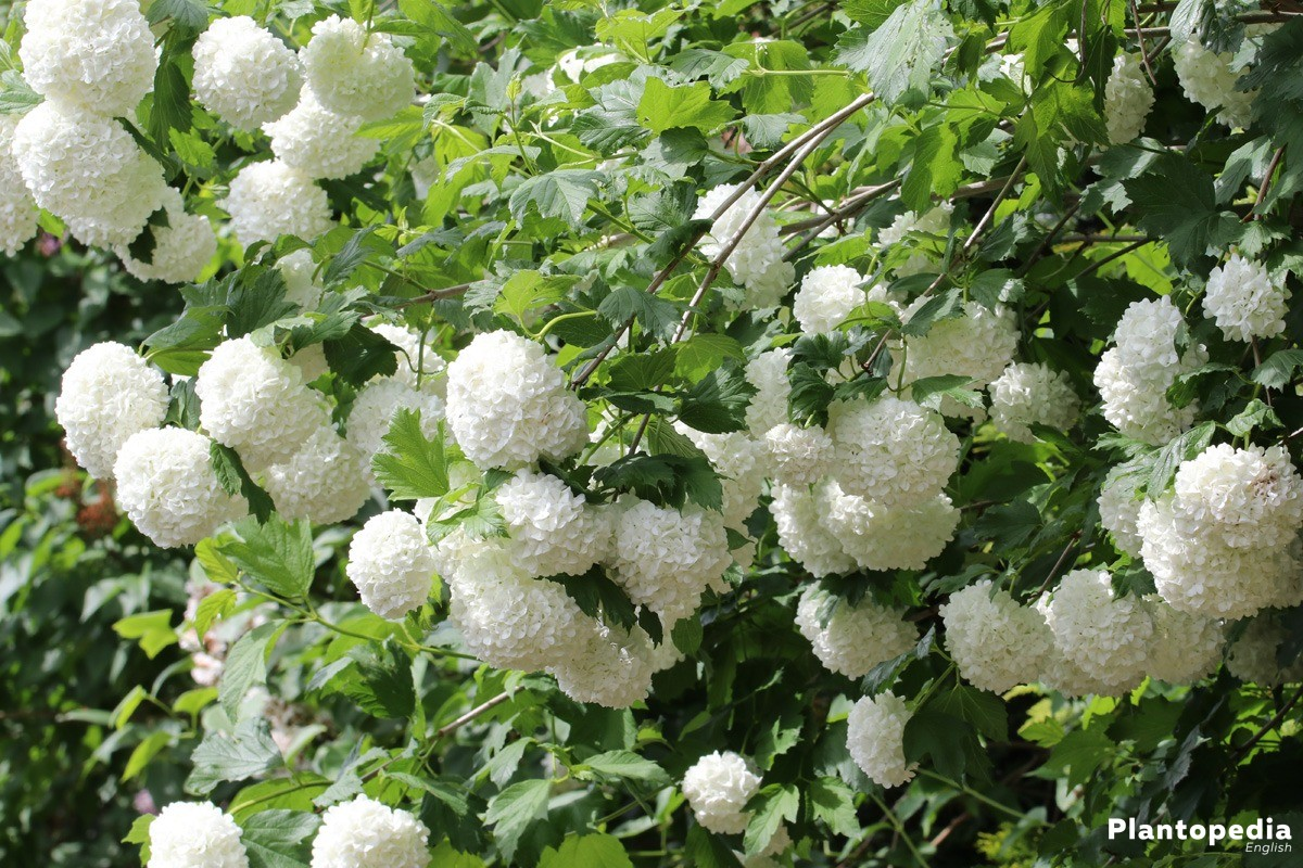 Guelder Rose Is An Easy Care Plant