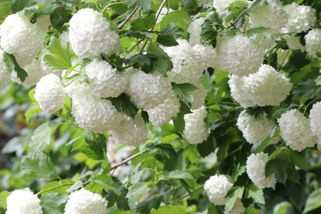 Guelder Rose also known as snowball tree