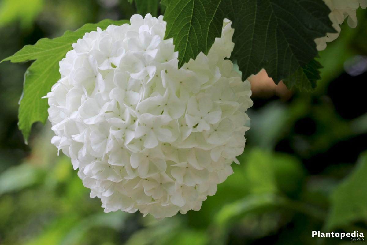 Guelder Rose grows high up to four meters or more