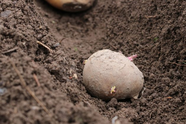 a potato in the garden patch