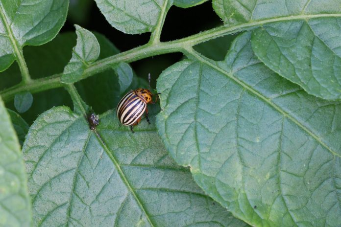Getting Rid Of Potato Bugs