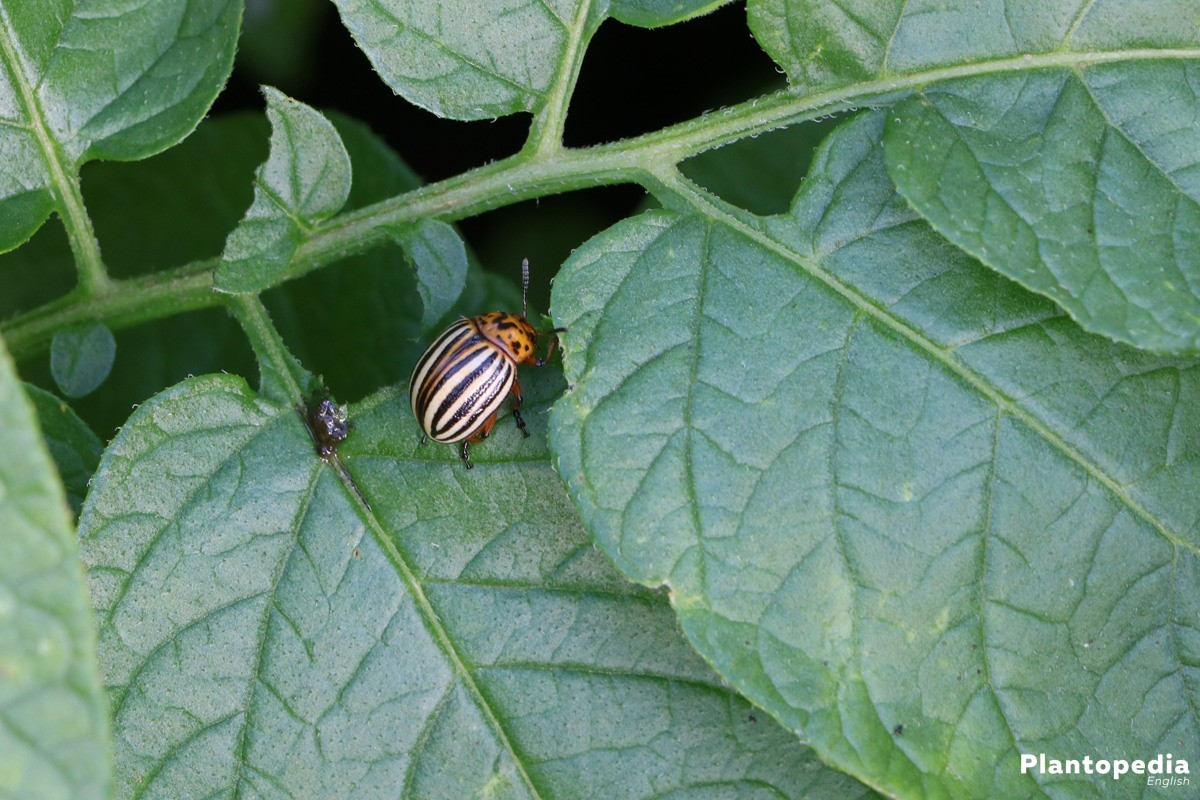Fighting the Colorado potato beetle folk remedies. Methods of struggle 98