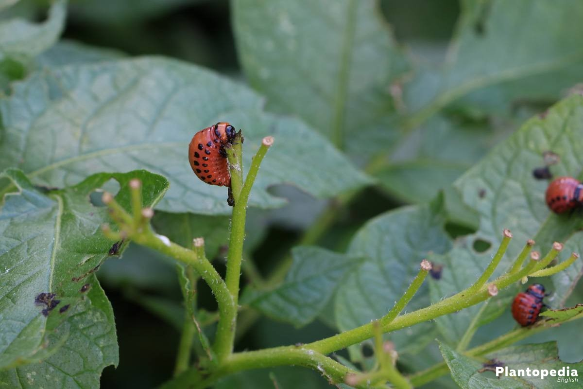 reddish larvae on a potato plant