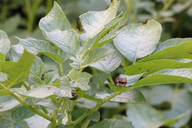 Potato Bugs on potato plants