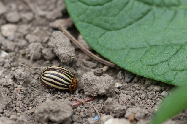potato bug eats holes into the potato plant leaves