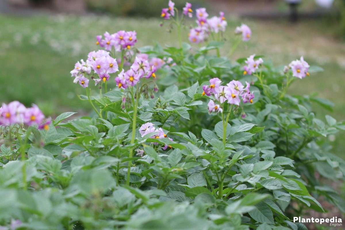 potato plant with blossoms