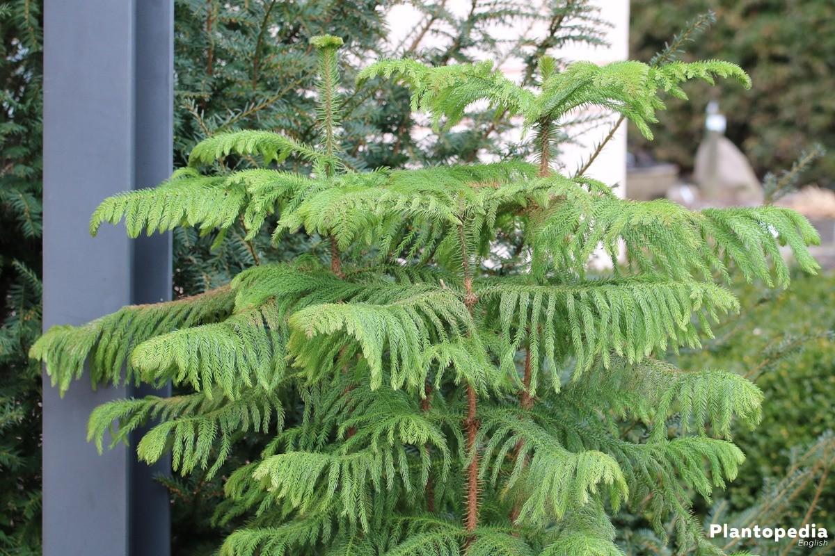 Araucaria heterophylla, Norfolk Tanne